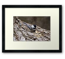 Chickadee 2 Framed Print