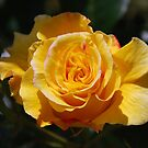 Just open yellow rose bud by 29Breizh33