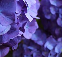 Purple!! Hydrangea by memories4ever