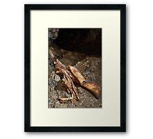 Cave bear fossils closeup Framed Print