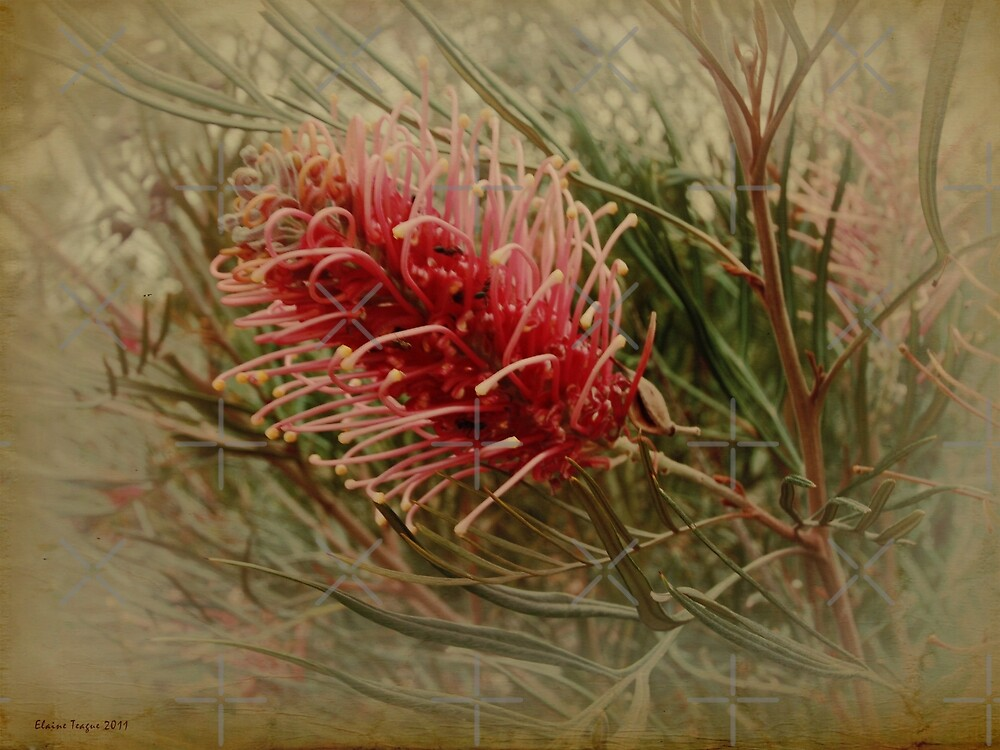 Red Grevillea by Elaine Teague