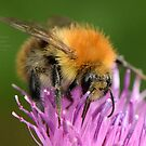 """"""" Pink Thistle Bee """" by Richard Couchman"""