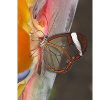 Glasswing 02 Photographic Print