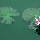 Single Water Lily by phil decocco