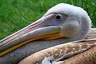 A Pelican Up Close by Jo Nijenhuis