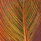 'Tropicanna' Striped Foliage Backlit by hortiphoto