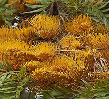 Silky Oak (Grevillea robusta) by hortiphoto