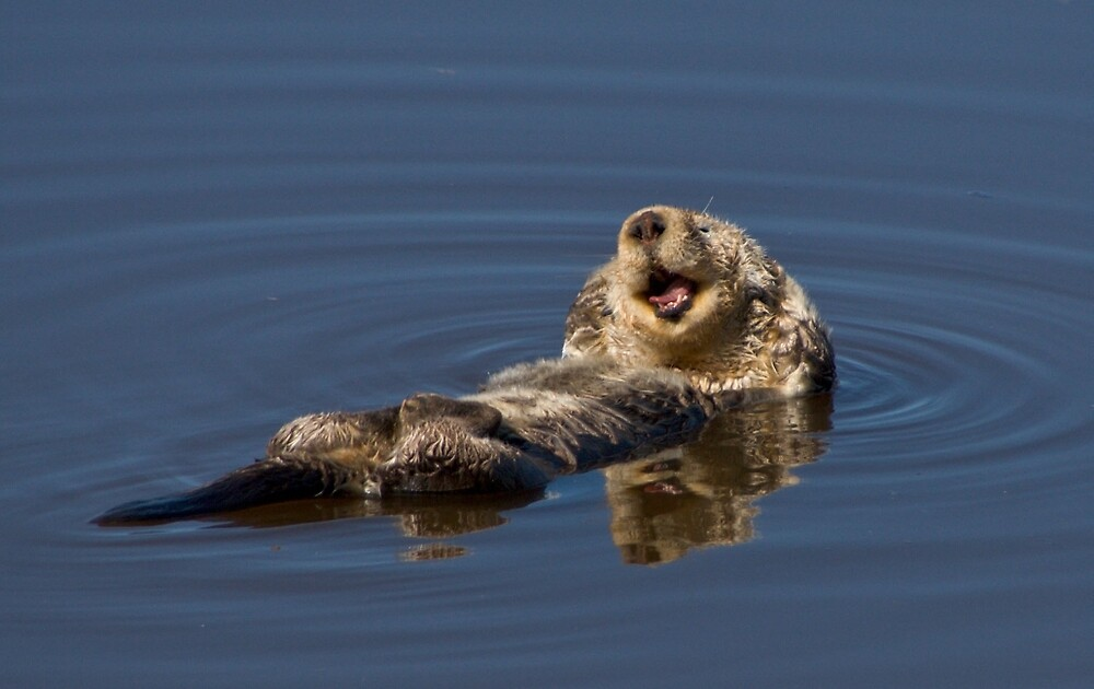 sea otter by David Chesluk