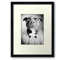Staffy! Framed Print