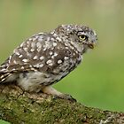 Little Owl (Athene noctua) - II by Peter Wiggerman
