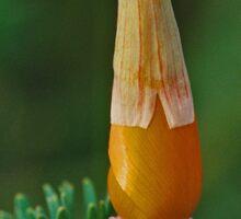 California poppy with cap Sticker