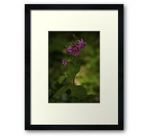 Pink Campion in Prehen Woods, Derry Framed Print