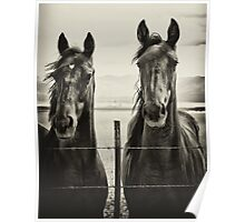 Horses - American Yearlings Poster