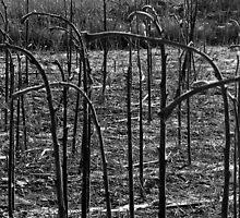 Sunflower Stalks  by Ethna Gillespie