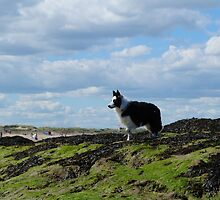 Sheepdog Poses on Rocks by Adrian Wale