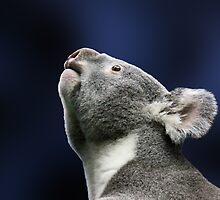 Cute Koala looking up  by ljm000