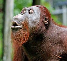 Orangutan by Theo Widharto