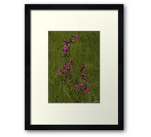 Red Campion in Burntollet Woods Framed Print