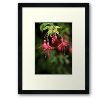 Fuchsia Hedge at Loch Na Fooey 3 Framed Print
