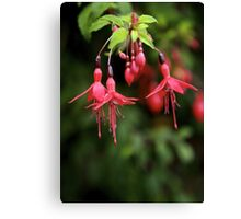 Fuchsia Hedge at Loch Na Fooey 3 Canvas Print