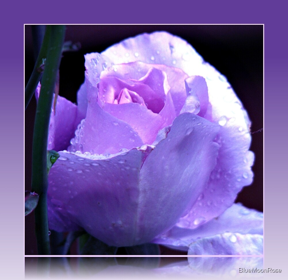 Dreamy Blue Moon Rose Beauty in Reflection Frame by BlueMoonRose