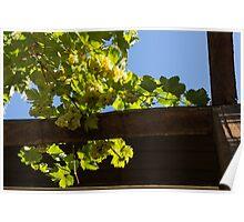 Overhead Grape Harvest - Summertime Dreaming of Fine Wines Poster