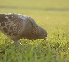 Homing Pigeon by AMPhotog
