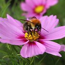 Bee on Pink Cosmos by AnnDixon