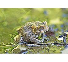 Eastern American toad - Anaxyrus americanus Photographic Print