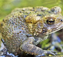 Eastern American toad - Anaxyrus americanus Sticker