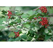 Wild red berries Photographic Print