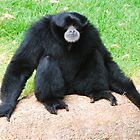 Siamang Sighs by Penny Smith