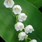 Lily of the Valley from Underneath by Kathleen Brant