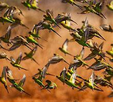 Budgerigar Flock by Henry  Cook