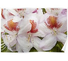 Rhododendron 'Mrs T. H. Lowinsky' Close-up Poster
