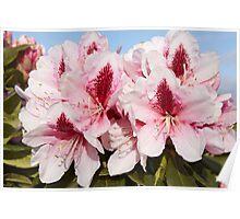 Rhododendron 'Mrs G.W. Leak' Flowerhead in Spring Poster