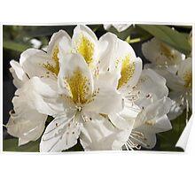 Rhododendron 'Belle Heller' Flowerhead in Spring Poster