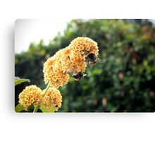 Yellow buddleia and bumble bees Canvas Print
