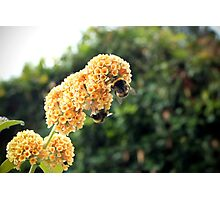 Yellow buddleia and bumble bees Photographic Print