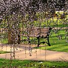 A Park Bench behind The Cherry Blossoms by Geno Rugh