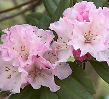 Rhododendron 'Christmas Cheer' Flowering in Late Winter by hortiphoto
