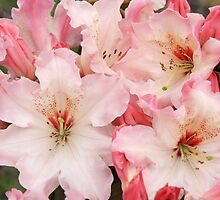 Rhododendron 'Lem's Cameo' Close-up by hortiphoto