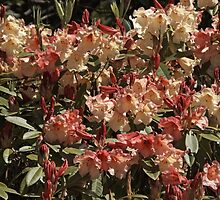 Rhododendron 'Jingle Bells' in Spring by hortiphoto