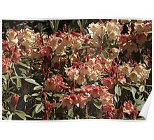 Rhododendron 'Jingle Bells' in Spring Poster