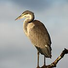 Black-headed Heron by Jennifer Sumpton