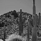 Palm Springs Cactus by Cody  VanDyke