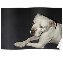 I Am  a Peaceful Pit Bull ♥ Poster