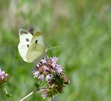 Cabbage White Butterfly and Oregano by Heather Pickard