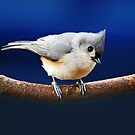 Curious little Titmouse by Bine
