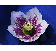 Hellebore Flower Head Photographic Print
